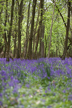 a woodland of bluebells