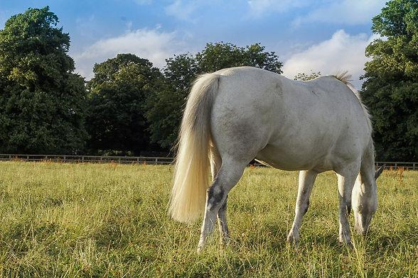 a grey horse grazing in a field