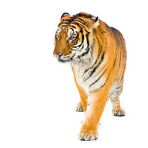 tiger-walking-PX4NJMM.jpg