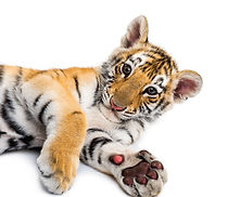 two-months-old-tiger-cub-lying-against-w