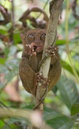 tarsier-01.jpg