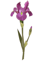 iris-fleur.png