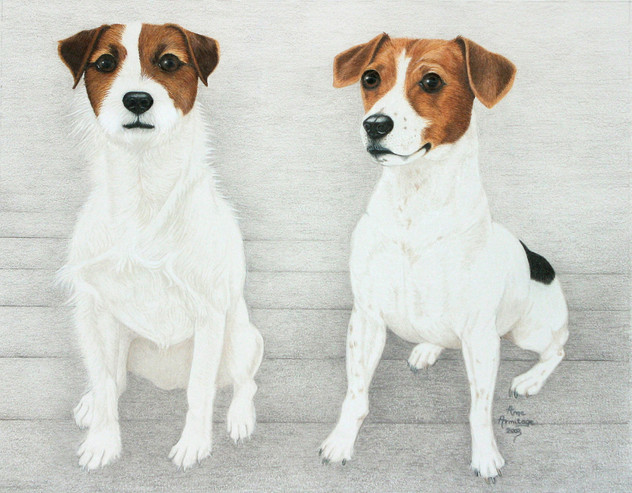 Jack Russels, rough coat and smooth coat.
