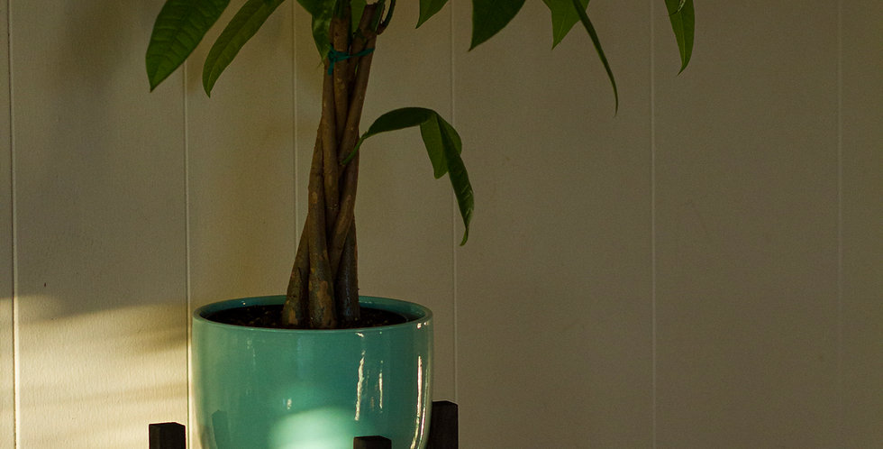 Money Tree Plant Ensemble