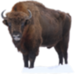 WWF-rangerclub-bison-bizon-europe-galler