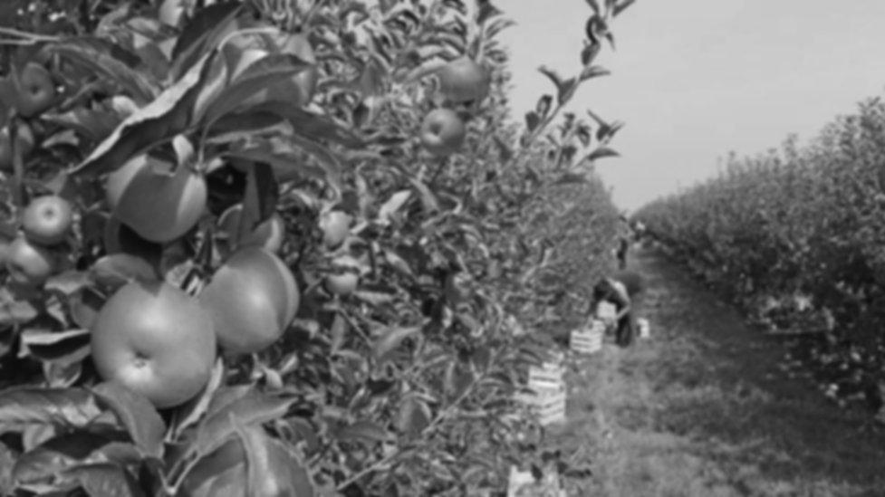 apple-farm-BW.jpg