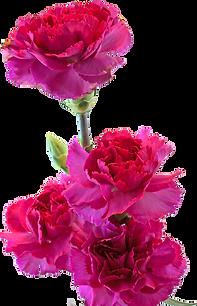 pink-carnations_Gy9TUvO_.tif