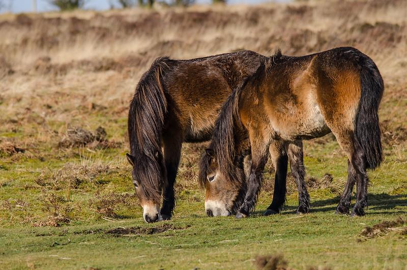 Exmoor Ponies N Stone