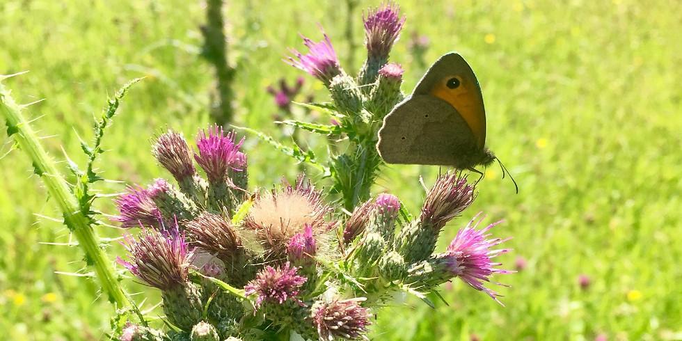 A wildflower walk around Nether Stowey - 3 miles / 3 hours