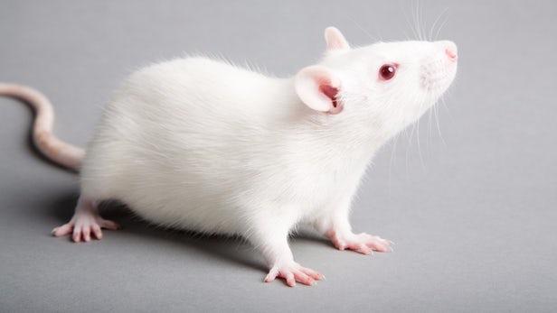 human-stem-cells-paraplegic-rats-1.jpg