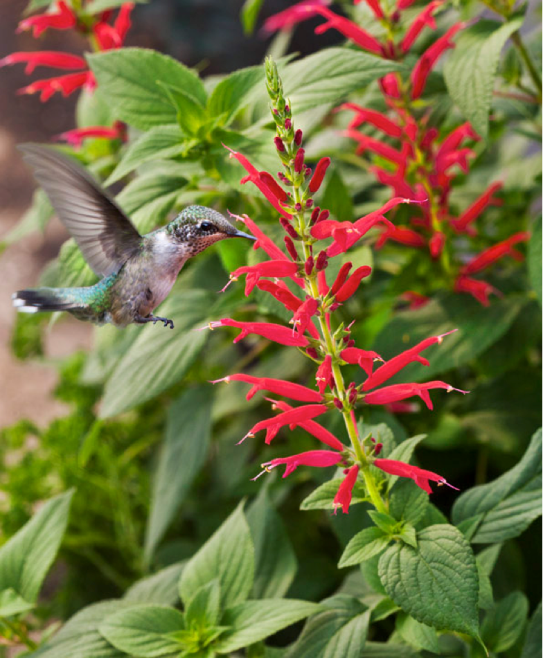 Hummingbird with Pineapple Sage Blossoms