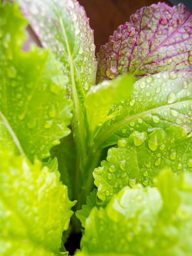 Lettuce Small.jpg