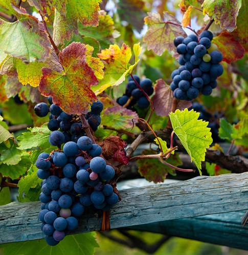 Grapes Small 72.jpg