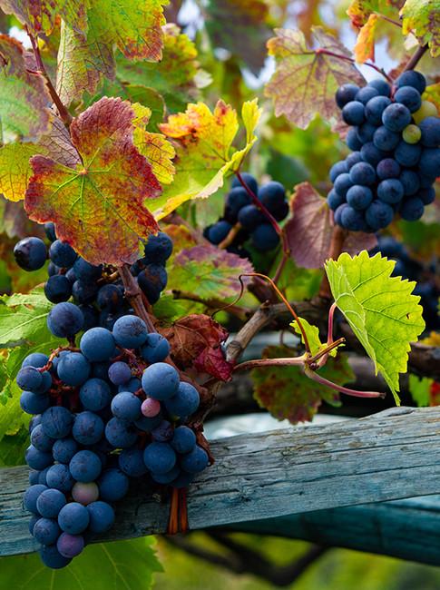 Sorrento Grapes