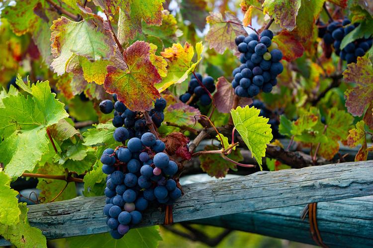 Grapes Sorrento
