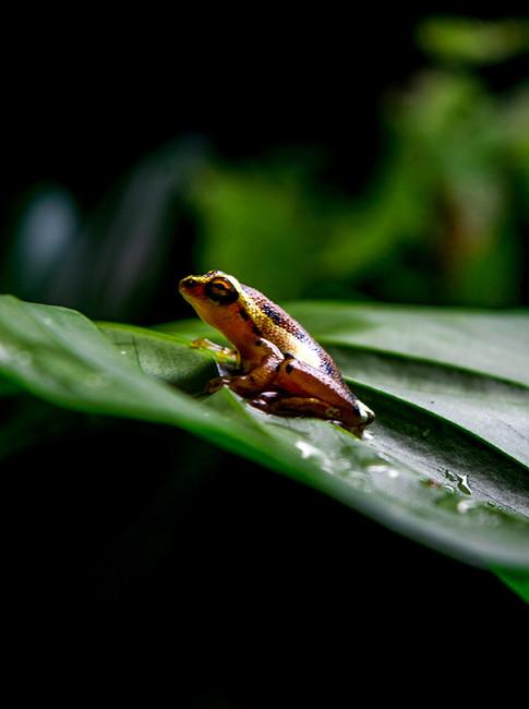 Frog Leaf