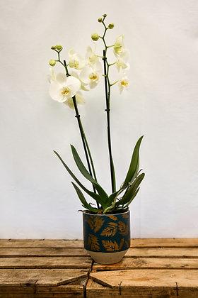 Orchid, Blue leaf