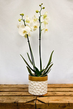 Orchid white gold
