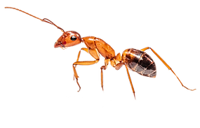 Spanish%2520ant%2520worker%2520(Camponot