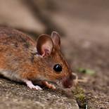 עכבר הבית מקק הדברות_1.jpg