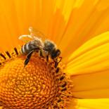 דבורת הדבש  מקק הדברות.jpg