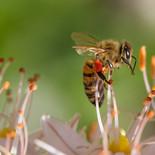 דבורה דבש מקק  הדברות.jpg