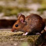 עכבר השדה מקק  הדברות.jpg