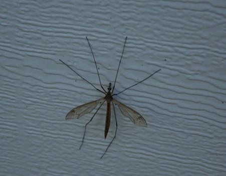 יתוש טיפולה מקק  הדברות.jpg