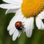 חיפושית מושית מקק  הדברות.jpg