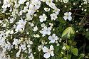 Clématite - Fleur de Bach