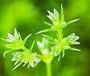 Gnavelle - Fleur de Bach
