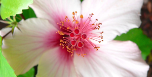 Fleur de Maronnier Blanc
