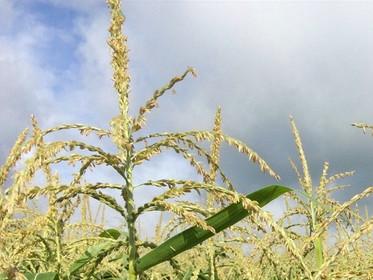 Maïs Doux | la fleur pour se libérer de l'emprise du confinement
