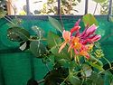 Chèvrefeuille - Fleur de Bach