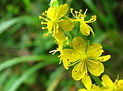 Aigremoine - Fleur de Bach