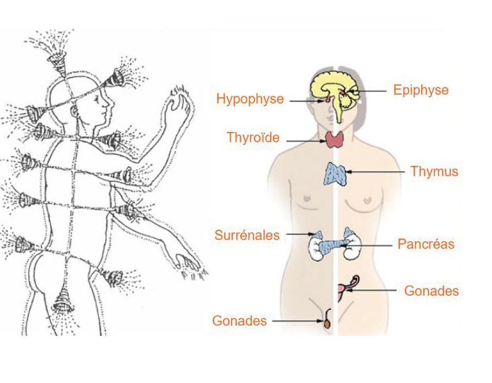 schéma glandes endocrines