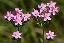 Centaurée - Fleur de Bach