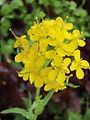 Moutarde - Fleur de Bach