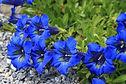 Gentiane - Fleur de Bach