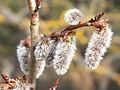fleur tremble grappes velues poils blancs