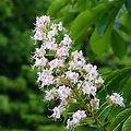 Marronnier Blanc - Fleur de Bach