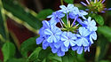 Plumbago - Fleur de Bach