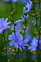 Chicorée - Fleur de Bach