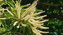 Chataignier - Fleur de Bach