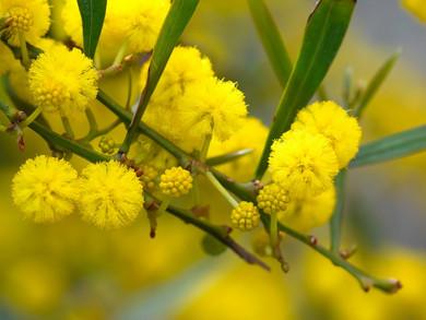 Mimosa, l'élixir floral pour se rouvrir aux autres après s'être senti exclus, rejeté(e)