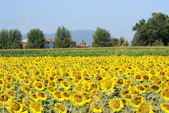 sunflowers_field_sky_summer_agriculture_