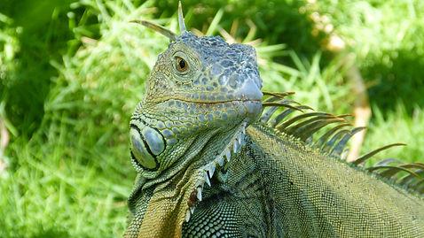 iguana-4186894_1920.jpg