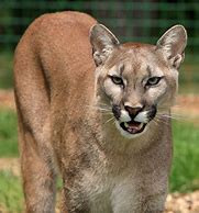 Cougar Sounds: How to Hike Your Way to an Accelerated Heart Rate