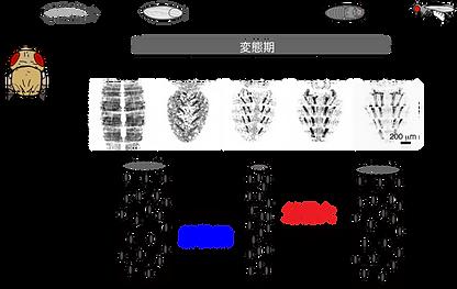 筋細胞のリモデリング.png