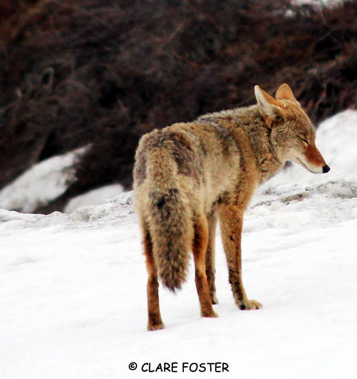 singing to coyote
